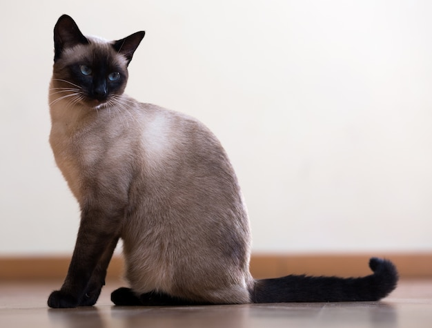 Sitting young siamese cat