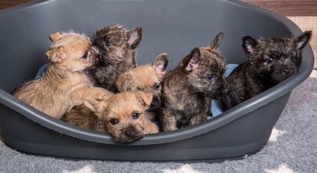 Six cairn terrier puppies dogs kennel in dog bed
