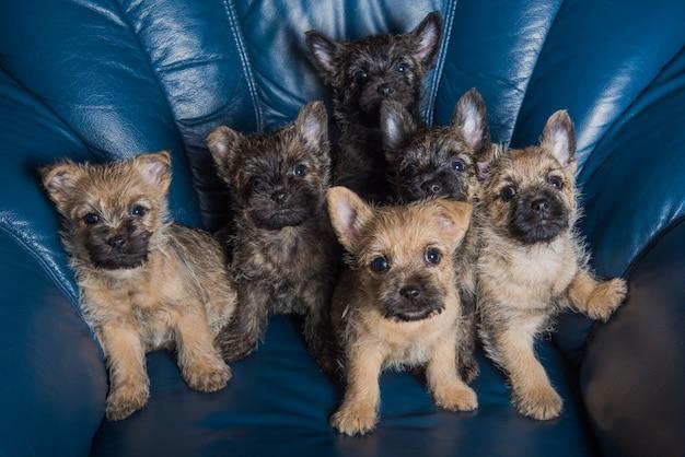 6ケアンテリア子犬犬犬小屋のソファの上