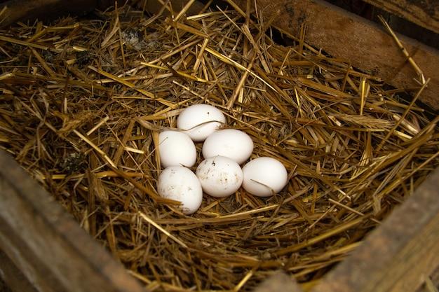 В гнезде лежат шесть свежих сырых куриных яиц, которые снесли цыплята в деревянном ящике с соломой