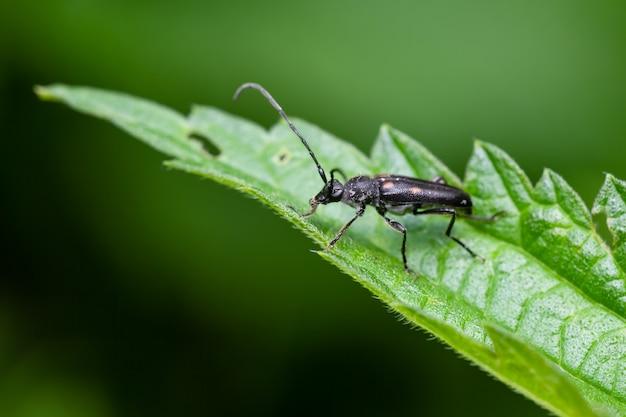 여섯 점박이 롱혼 (anoplodera sexguttata)은 잎에 앉아 있습니다.