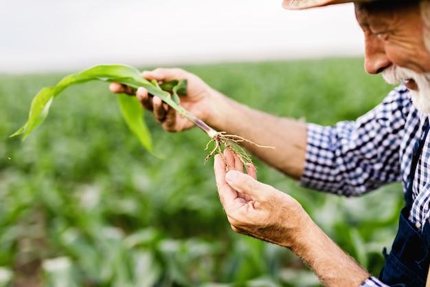 60歳のあごひげ農家が、トウモロコシの栽培地を管理しています。