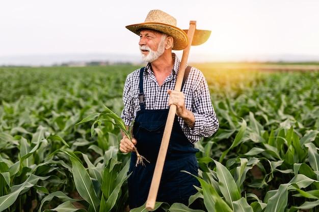 とうもろこし栽培分野で働く60歳のあごひげ農家。