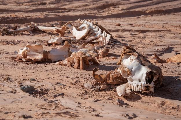 Skeleton of a camel in the desert.