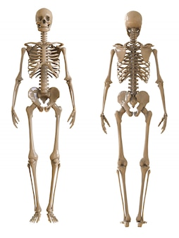 Skeleton front and rear view