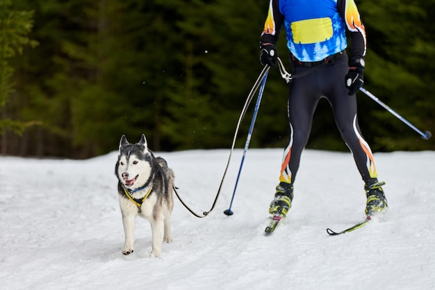 Skijoring dog racing. winter dog sport competition. siberian husky dog pulls skier. active skiing on snowy cross country track road