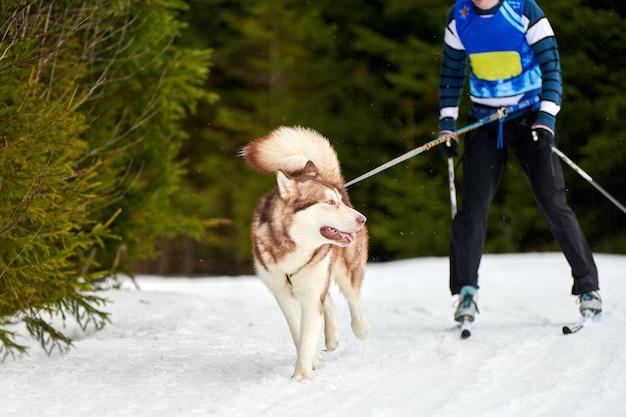 Скиджоринг собачьи бега. соревнования по зимнему собачьему спорту. сибирский хаски тянет лыжника.