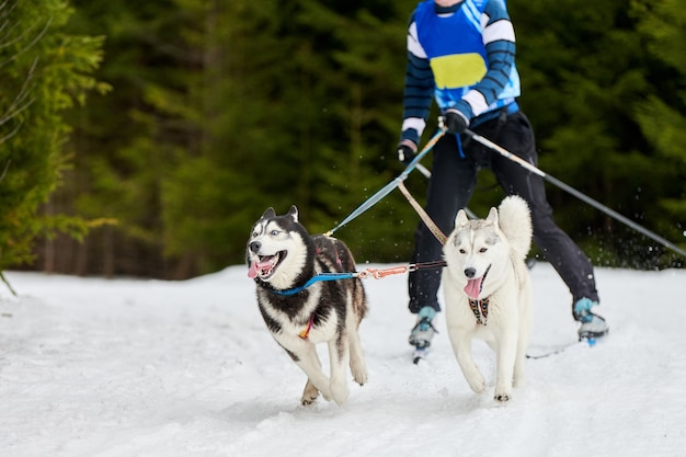 Skijoring dog racing. winter dog sport competition