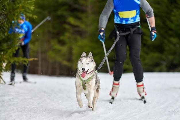 Скиджоринг собачьи бега. соревнования по зимнему собачьему спорту.