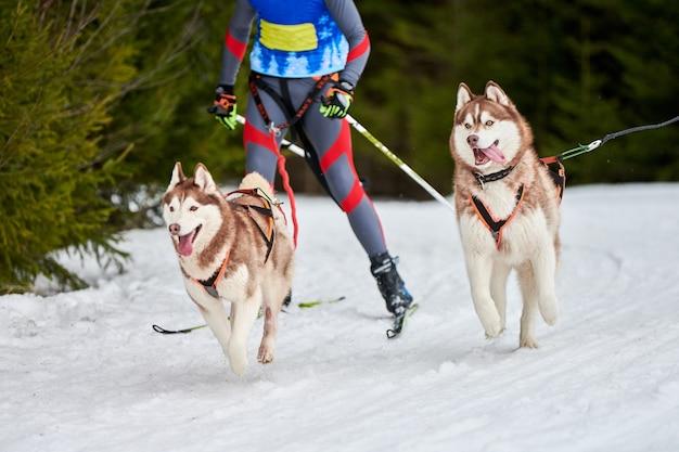 Скиджоринг собачьи бега