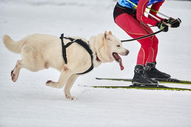 Skijoring dog racing