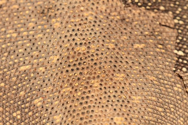 Skin of bengal monitor lizard