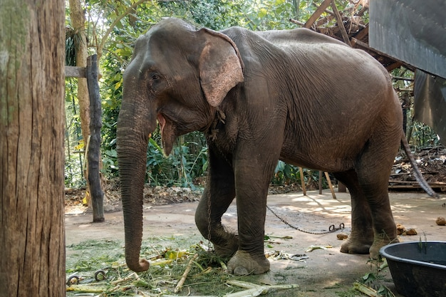 The skinny asian elephant was raised in a human animal shelter.