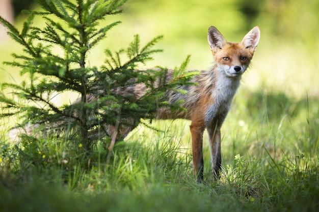 Тощая рыжая лисица выглядывает за хвойным деревом на солнце