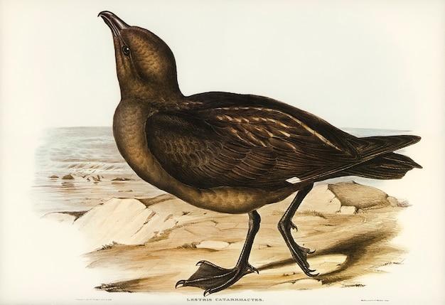 Skua gull (lestris catarractes) illustrated by elizabeth gould