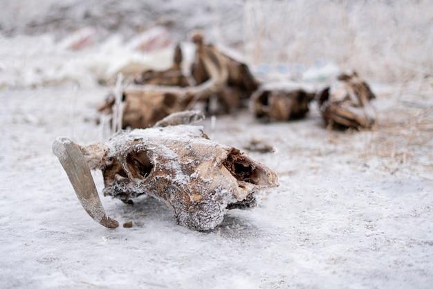 死んだ牛と雄牛の頭蓋骨と骨