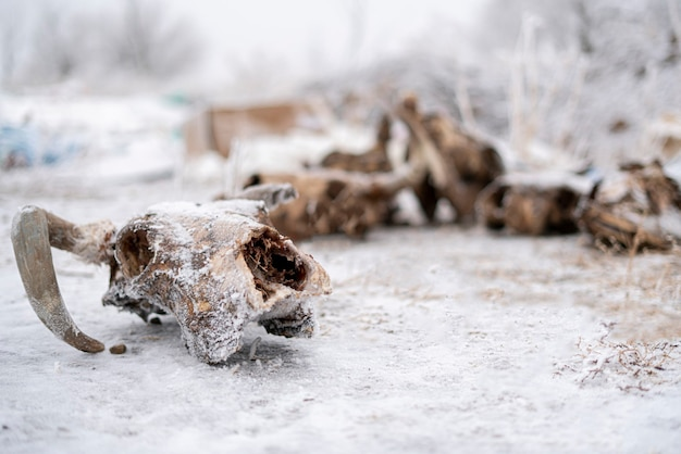 A skull and bones of the dead cow and bull animal abstract scary fear and horror concept winter season