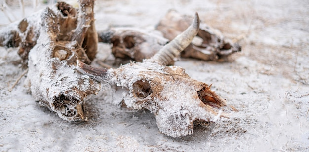 Skull and bones of the dead cow and bull animal