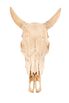 The skull of cow or  bos taurus isolated.