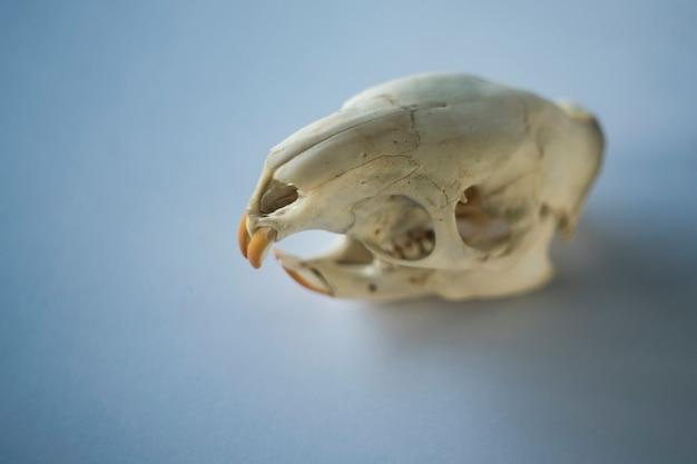 きれいな背景の齧歯動物の頭蓋骨
