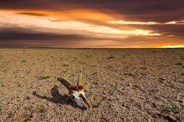 砂漠の石の地面にあるノロジカの頭蓋骨