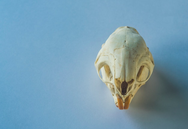 Skull of a rodent on clean background