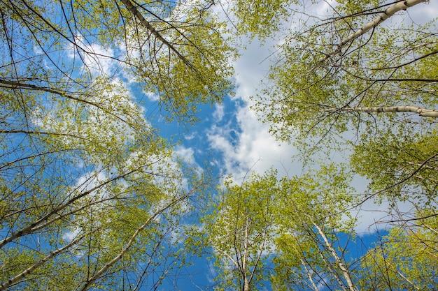 봄 자작 나무 크라운을 통해 하늘