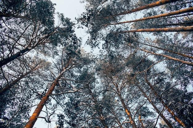 雪に覆われた松の枝を通る空の眺め