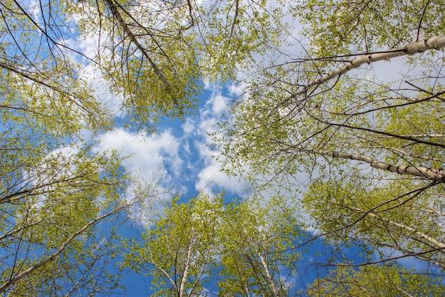 春の白樺の若い葉を通して雲と空