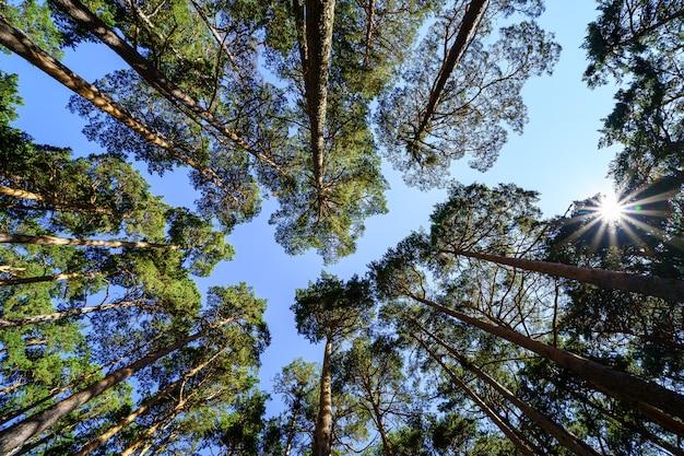 青い夏の日の背の高い松の木の空からの眺め。
