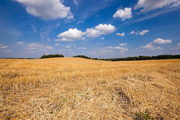 Наклонная пшеница - сельскохозяйственное поле, на котором прошла уборочная компания пшеницы.