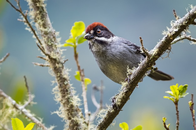 Slaty-brush finch / atlapetes schistaceus, 부리에 벌레가있는 나무에서 호기심이 많은 새. 콜롬비아 안티오키아 우라 오.
