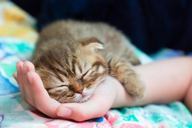 Slcottish kitten sleep on a female hand