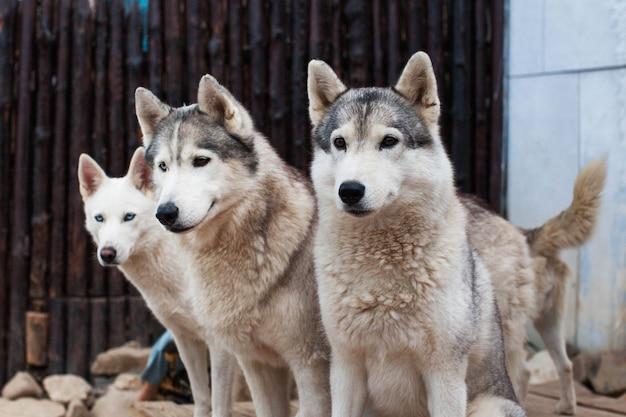 Ездовая собака хаски сидит в окружении других собак