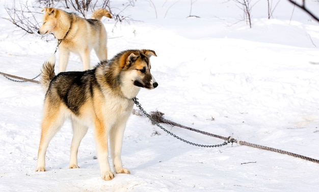 캄차카에서 썰매 개 강아지 시베리안 허스키