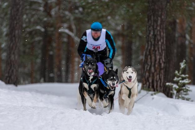 犬ぞりレース。ハスキーとドーベルマンのそり犬チームは、犬ぞり旅行者と一緒にそりを引きます。冬の競争。