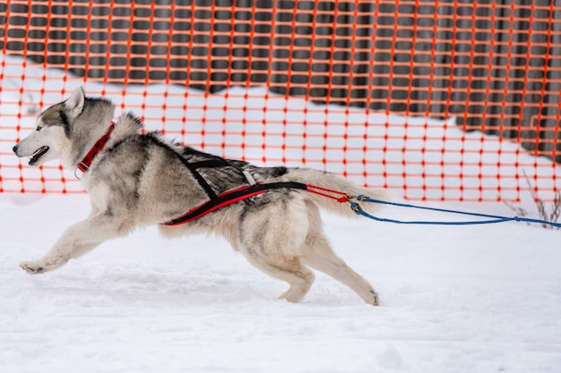 犬ぞりレース。ハスキーそり犬チームのハーネスランとプルドッグドライバー。ウィンタースポーツ選手権大会。