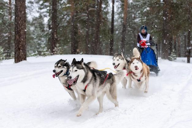 썰매 개 경주. 허스키 썰매 개 팀은 개 운전사와 함께 썰매를 당깁니다. 겨울 경쟁.