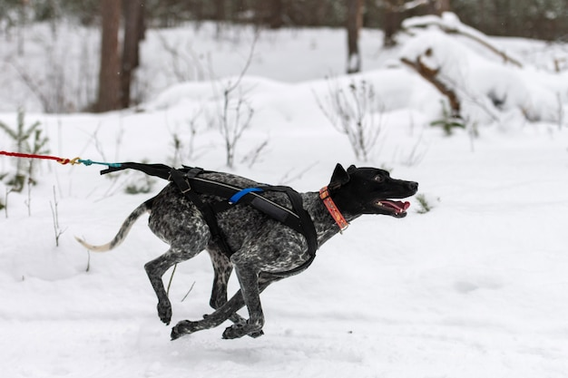 Sled dog racing. pointer sled dog in harness run and pull dog driver. winter sport championship competition.