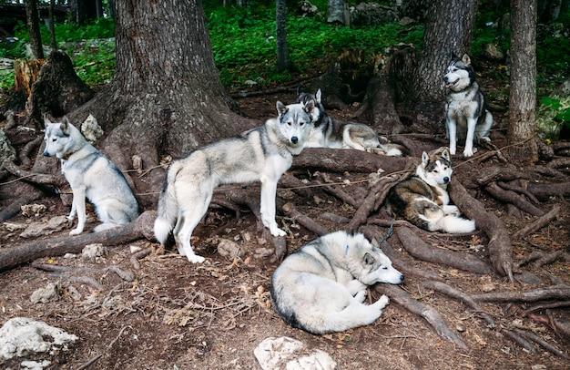 Sled dogs   husky at a halt under a tree.