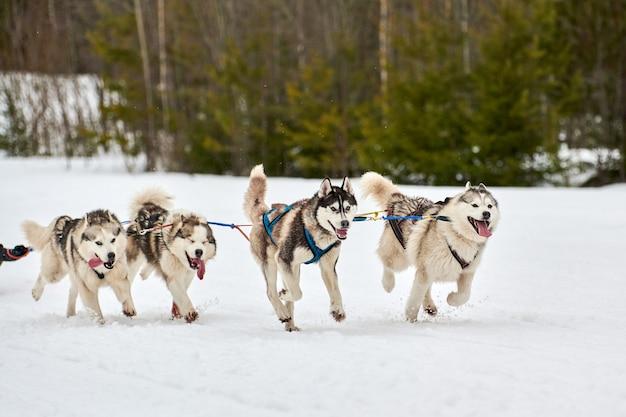 Ездовые собаки, тянущие погонщика на санях