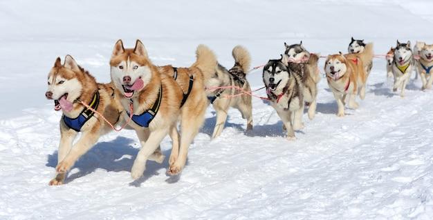 Гонки на собачьих упряжках зимой на снегу