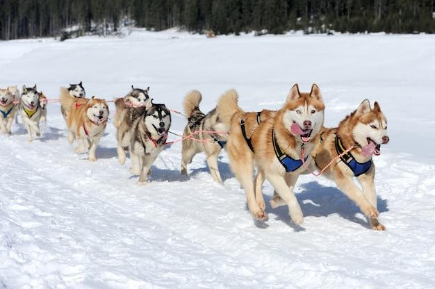 Sled husky dog race in winter on snow