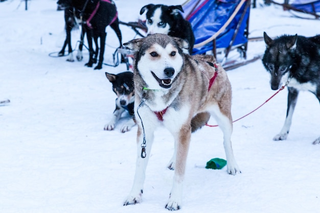 Sledding huskies during a break from an expedition in the snow