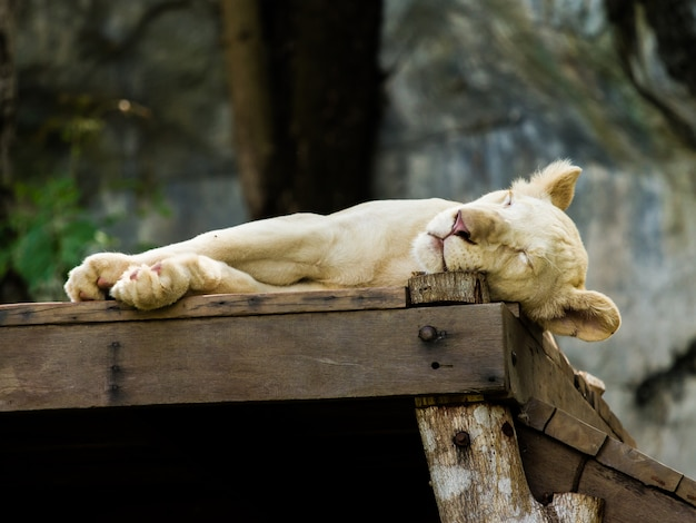 Sleep white lion