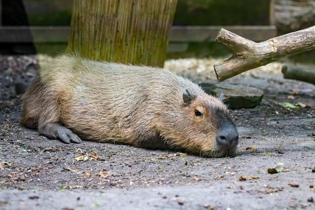 Спящие капибары - hydrochaeris hydrochaeris - самый большой из ныне живущих грызунов в мире.