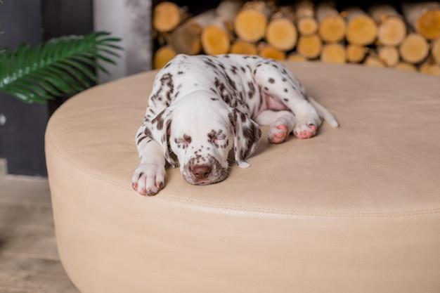 침대에서 잠자는 개. 집에서 애완 동물. 8 주 오래 된 달마 시안 강아지의 귀여운 초상화입니다. 작은 달마 시안 강아지. 공간 복사