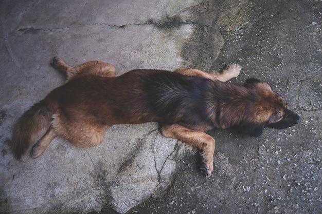 Спящая собака, раздвинув ноги, расслабляясь на полу