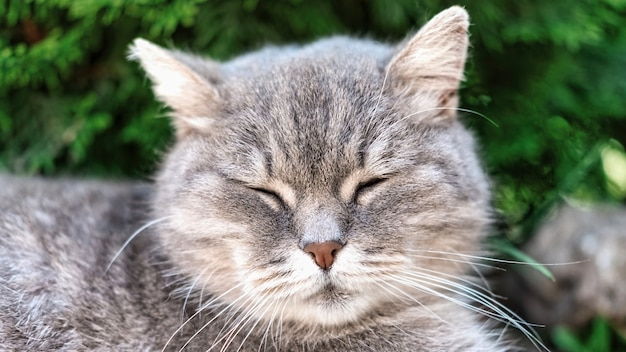 Sleeping gray cat in the nature