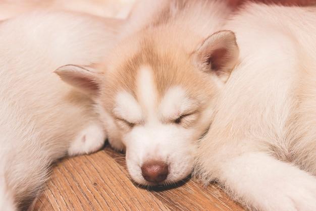 床で眠っているハスキーの子犬